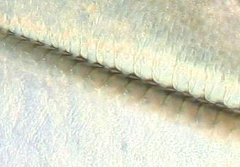Família Carangidae