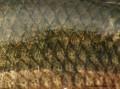 Familia Erythrinidae