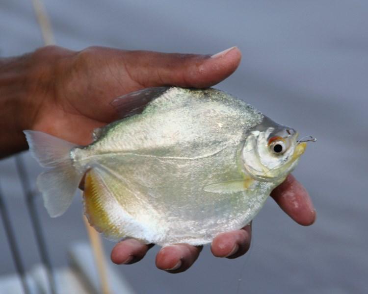 pesca de sardinhão na ceva  - CD - IMG_7407recered