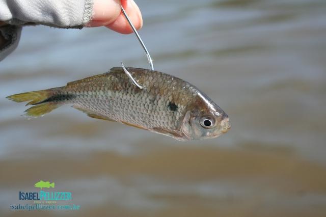 IMG_9596- lambari iscado para pesca do palmito