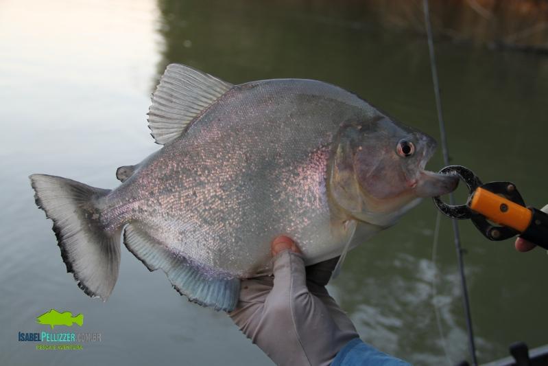 IMG_9644 piranha d pesca  do palmito