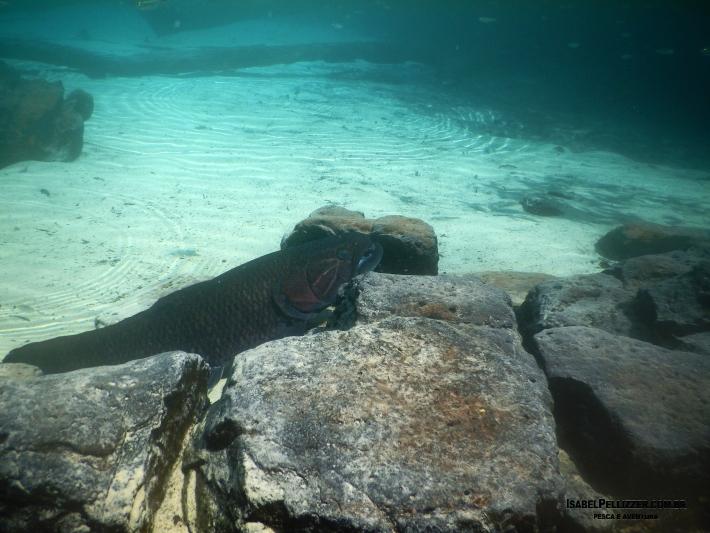 DSCN0526 trairão da lagoa azult=
