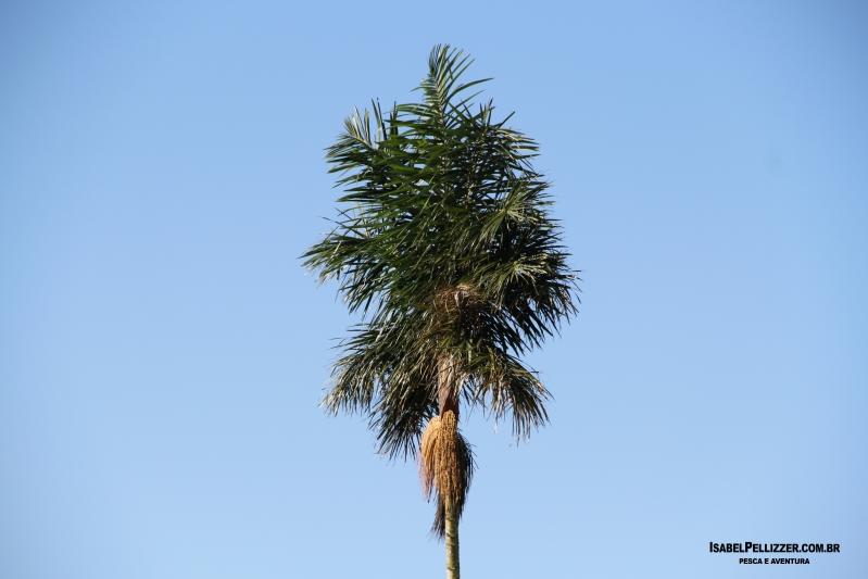 IMG_2406 palmeira norte-sul vista de lado