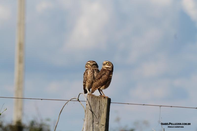 IMG_2415 casal de coruja-buraqueira