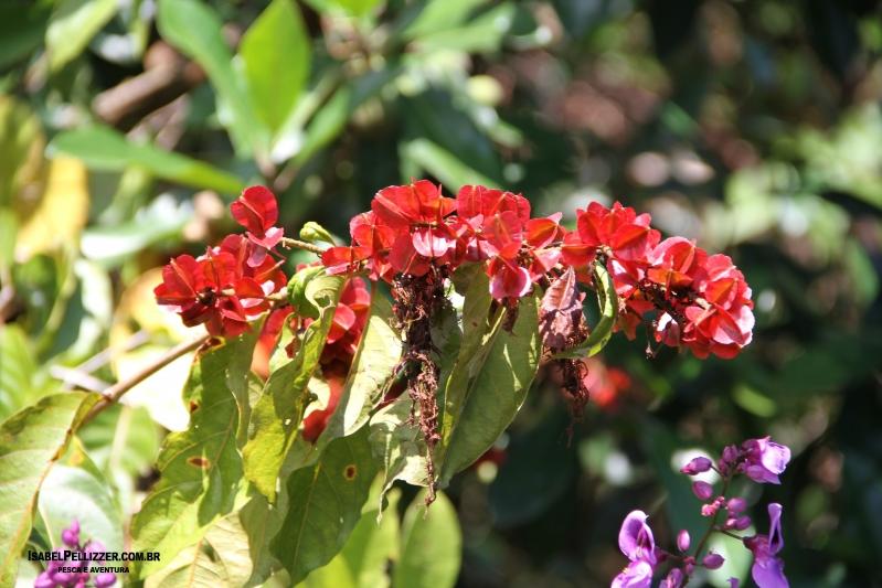 IMG_2710 semente de escova de macaco ou flor-de-fogo (Combretum fruticosum)