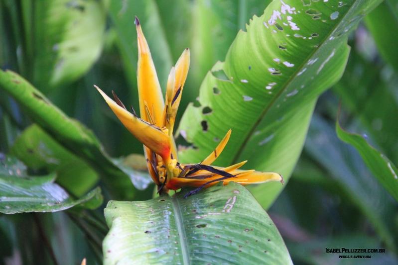IMG_2935 Helicônia jardim pousada atrair beija flor