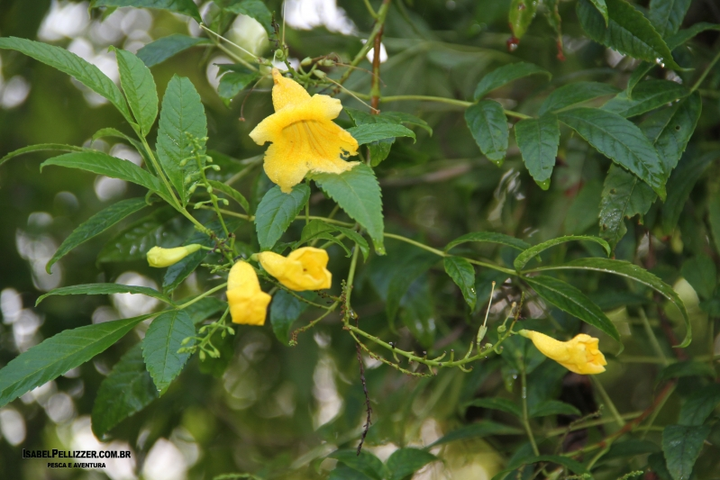 IMG_2958 ipê de jardim (Tecoma stans) atrair beija flor