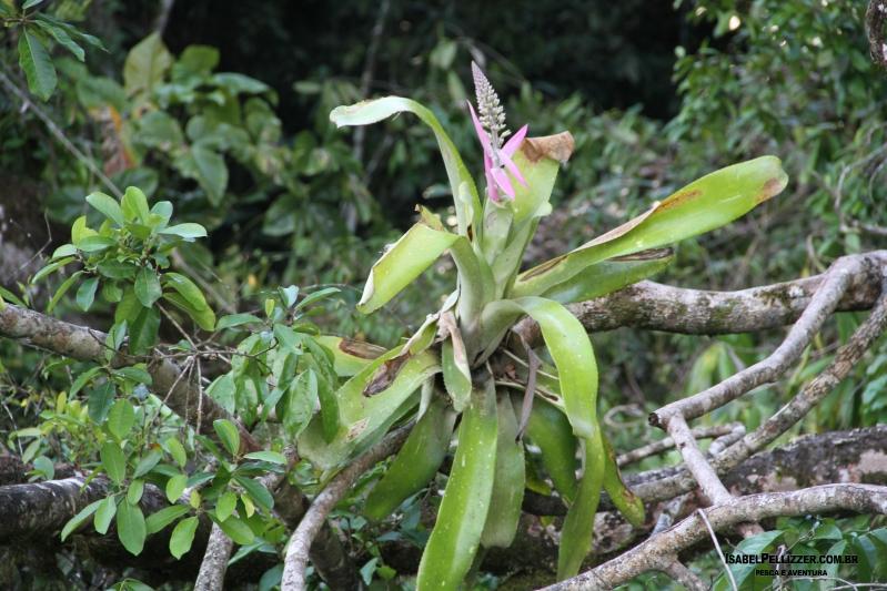 IMG_3593 bromelia florida