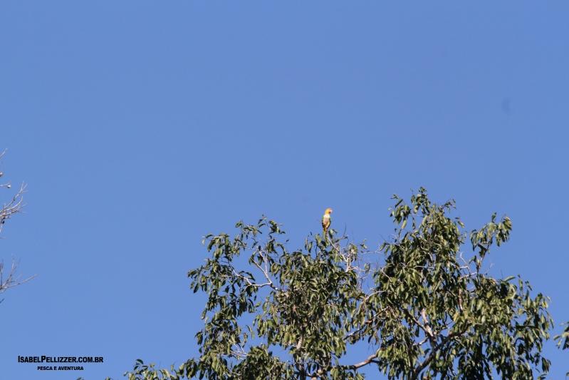 IMG_3809 marianinha-de-cabeça-amarela (Pionites leucogaster)