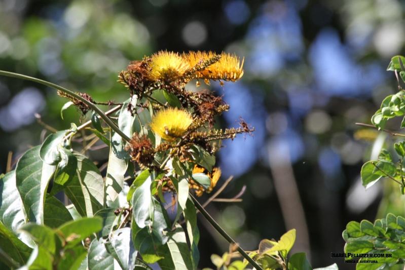 IMG_3905 flor de escova de macaco ou flor-de-fogo (Combretum fruticosum)