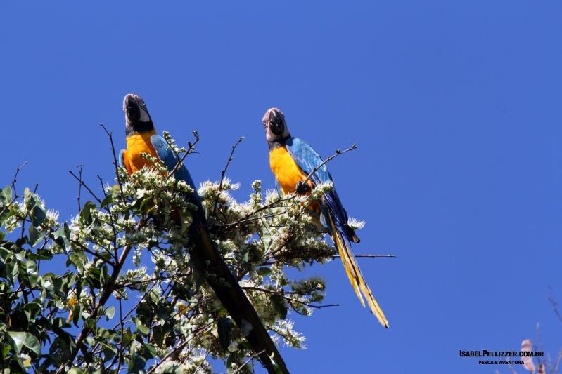 IMG_4143T arara-amarela ( Ara ararauna)