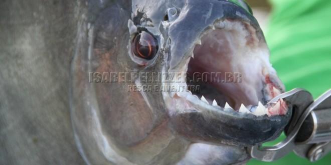 Piranhas amazônicas do rio Padauari