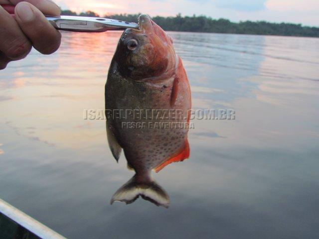 IMG_0614 piranha vermelha