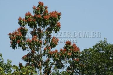 IMG_0674 pau-formiga (Triplaris brasiliana)