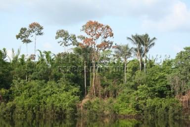 IMG_0831 pau-formiga (Triplaris brasiliana)