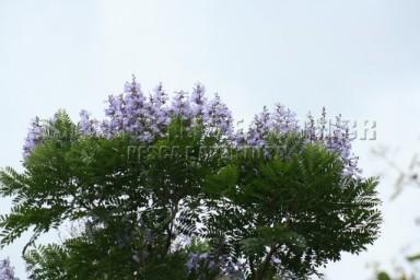 IMG_1257 caroba do mato (jacaranda copaia)