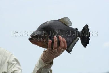 IMG_1960 piranha preta