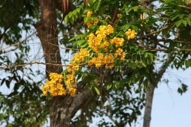 IMG_2103 maduirana (Senna macranthera)