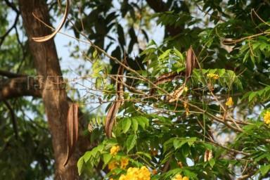 IMG_2106 maduirana (Senna macranthera)
