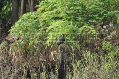 IMG_2381 coro-coro (Mesembrinibis cayennensis)