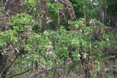 IMG_3001 sombreiro (Clitoria fairchildiana)