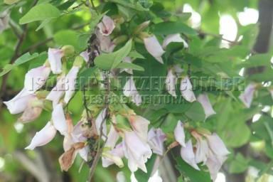 IMG_3024 sombreiro (Clitoria fairchildiana)