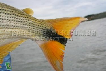 Paulicéia - dourado 109
