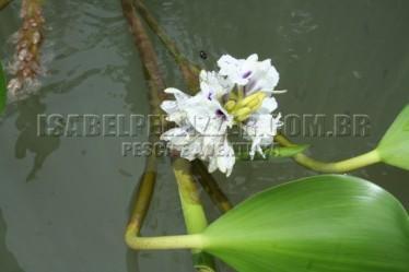 Paulicéia - dourado (4)