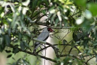 araponguinha ou anambe-branco-de-rabo-preto (Tityra cayana) macho