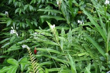 folhagens, lirio, samambaia, canafistas(Costus spicatus)