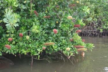 rabo-de-arara (Schwartzia brasiliensis) 2