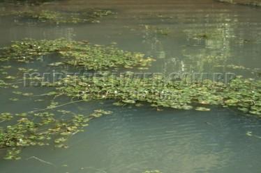 vegetação flutuante 195